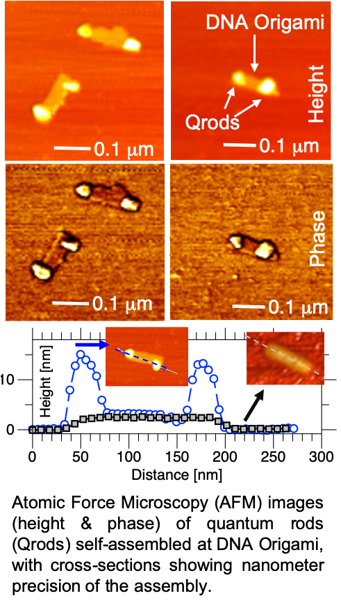 Atomic Force Microscopy (AFM) images (height & phase) of quantum rods (Qrods) self-assembled at DNA Origami, with cross-sections showing nanometer precision of the assembly.